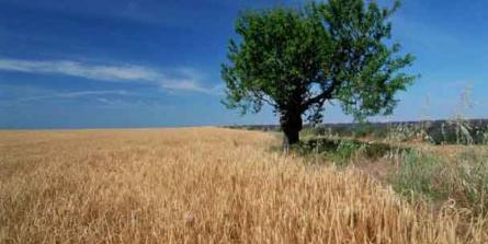 Le gluten du blé moderne rend dépressif