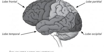 Le cerveau, une centrale électrique
