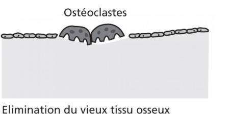 Le remodelage osseux, qu'est-ce que c'est ?