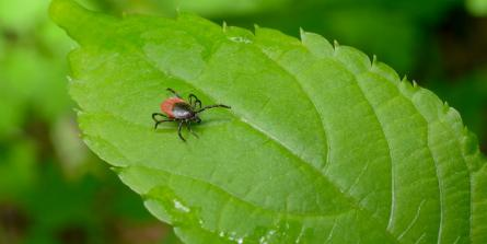 Comment juguler la maladie de Lyme chronique